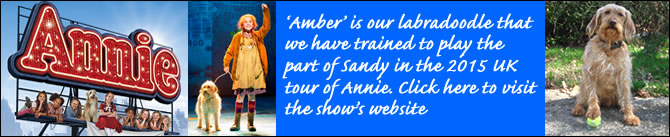 Our Labradoodle for Annie the Musical UK tour 2015